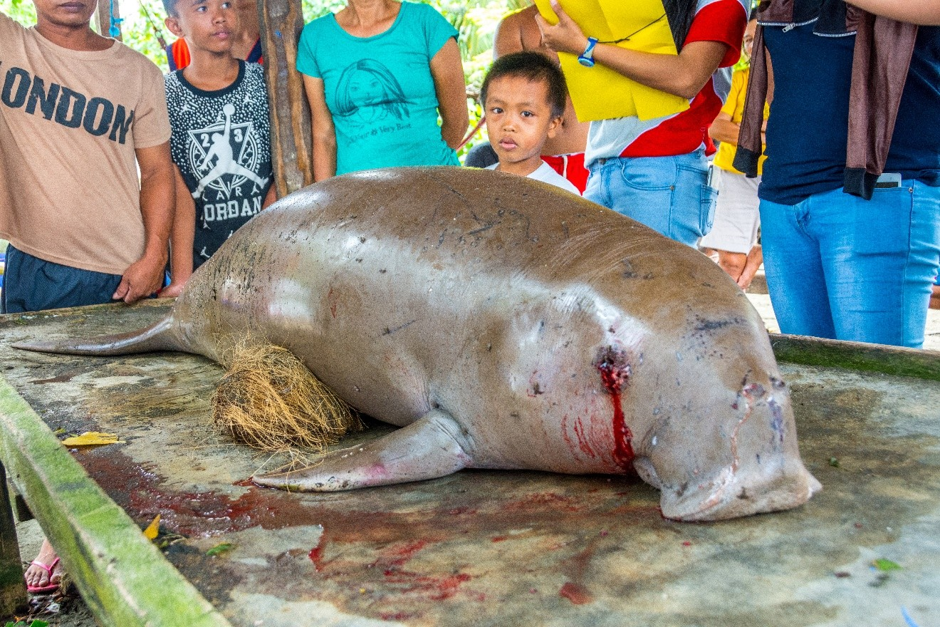 stranded dugong2